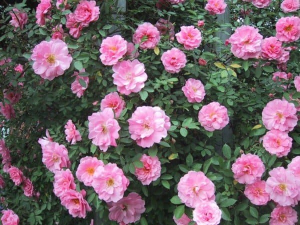Winter protection helps roses survive winter. (Garden Making photo)