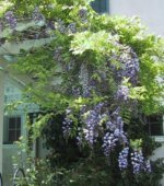 Wisteria (Garden Making photo)