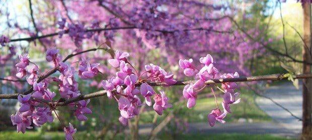 Redbud branches can be forced to bloom early indoors. (Photo from WikiMedia Commons)