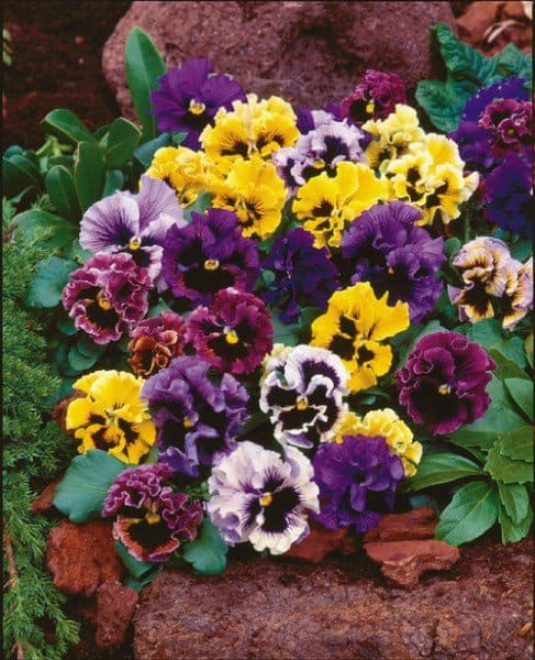 Frizzle Sizzle pansy (Photo by Veseys Seeds)
