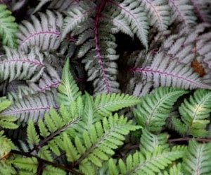 Japanese painted ferns (Photo by Brendan Zwelling)