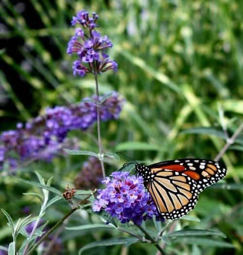 A monarch enjoying the nectar of a butterfly bush. (Photo by Brendan Zwelling)