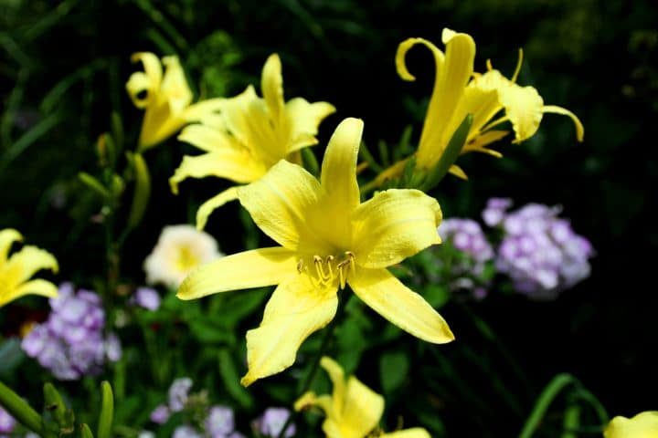 'Hyperion' daylilies (Photo by Brendan Zwelling)