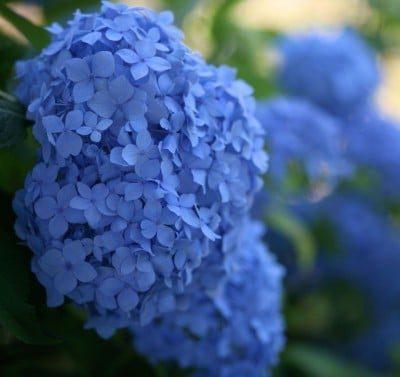 Blue hydrangea (Photo by Heather Hayden)