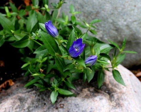 Easy-to-grow Japanese gentian. (Photo by Brendan Zwelling)