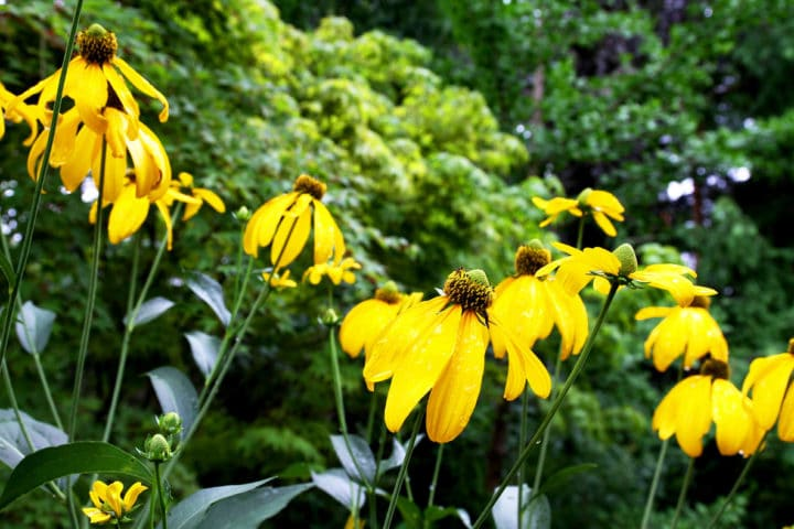 Yellow rudbeckia, a tall beauty. (Photo by Brendan Zwelling)
