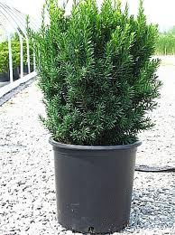 Potted Hick's yew (Photo courtesy of Willowbrook Nurseries)