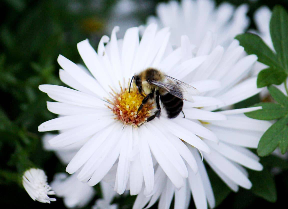 Bee on a white aster (Photo by Brendan Zwelling)