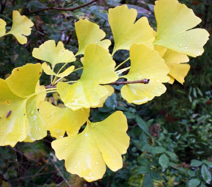 Ginkgo's distinctive fan-shaped leaves turn bright yellow in autumn. (Photo by Brendan Zwelling)