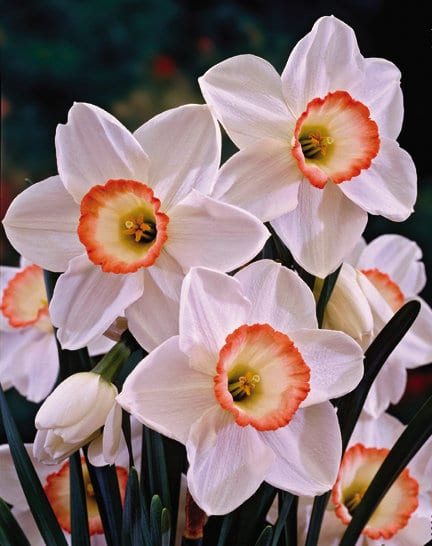 Beautiful 'High Society' narcissus (Photo courtesy of Veseys)