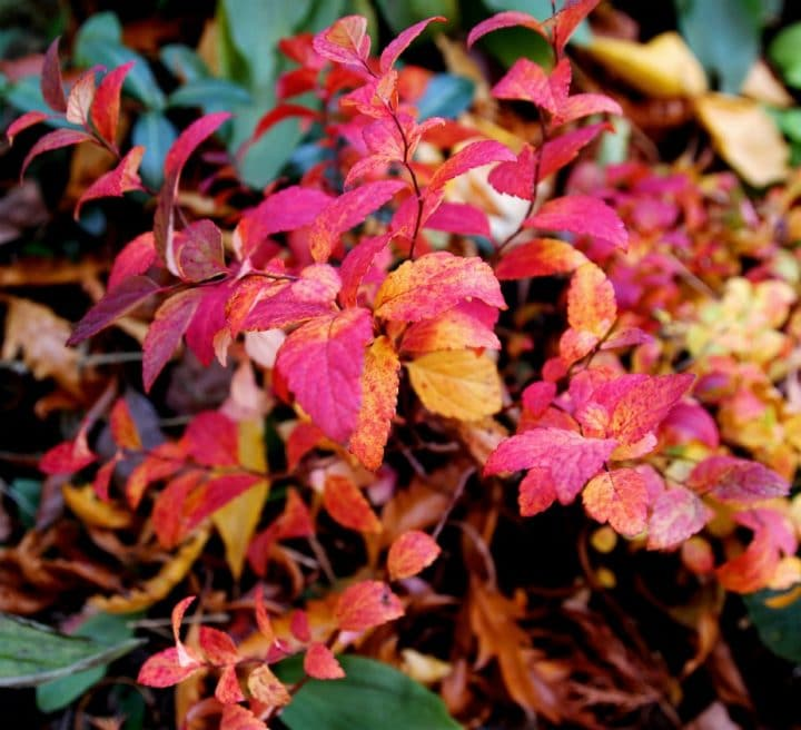Double Play Artist, a short spirea introduced by Proven Winners, displays cheerful fall foliage. (Photo by Brendan Zwelling)
