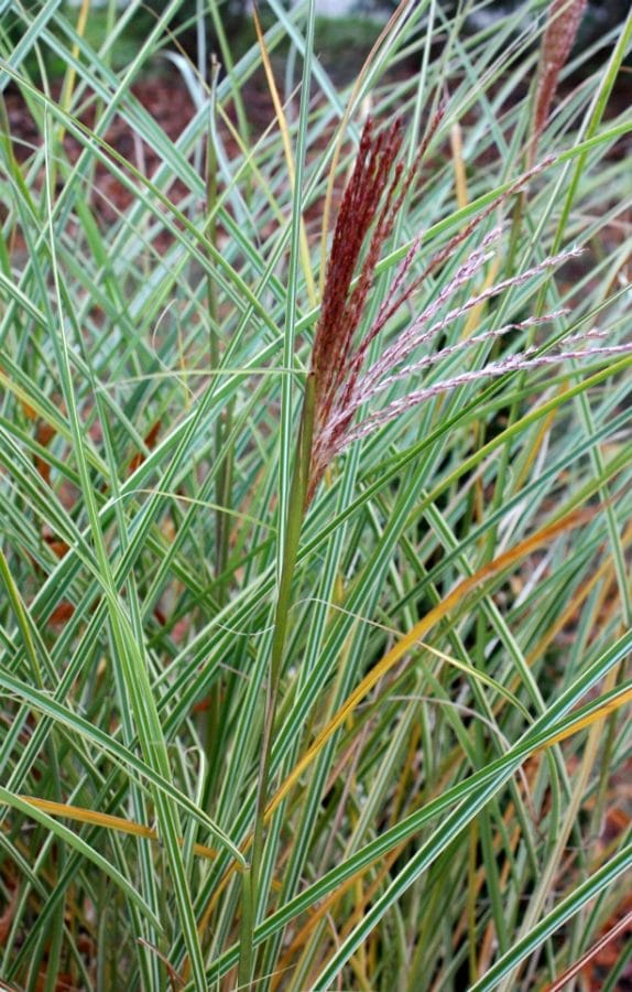 Variegated 'Morning Light' is a clump-forming ornamental grass. (Photo by Brendan Zwelling)