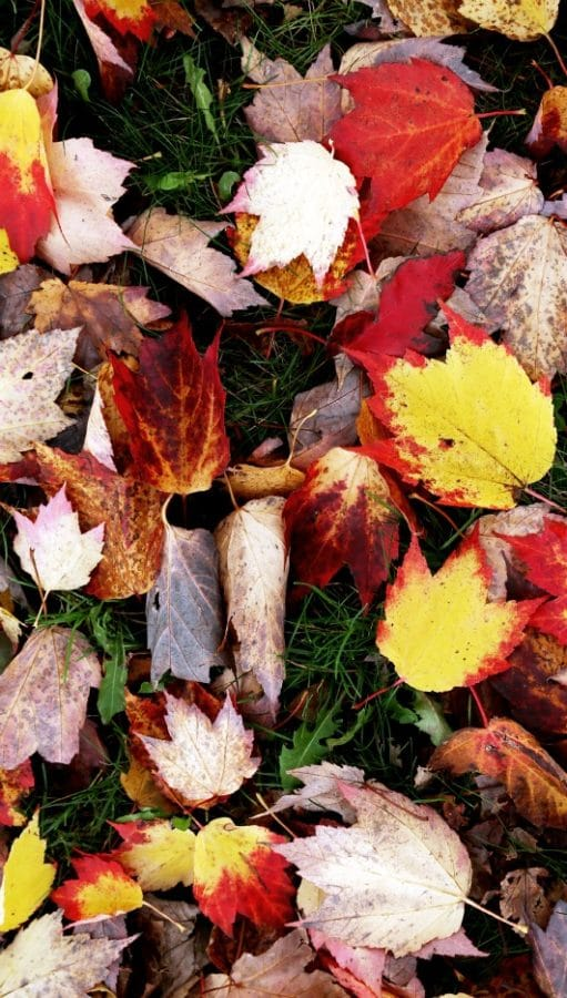 Incorporating leaves into the soil is a good way to boost plant health. (Photo by Brendan Zwelling)