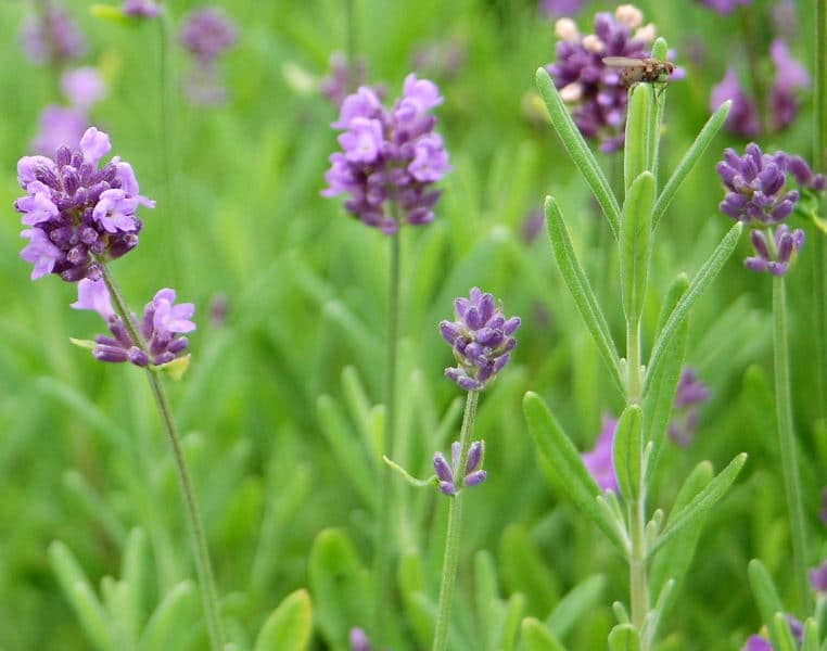 Dwarf 'Lady' lavender is a good candidate for containers. (Photo courtesy of Wild Ginger Farms)