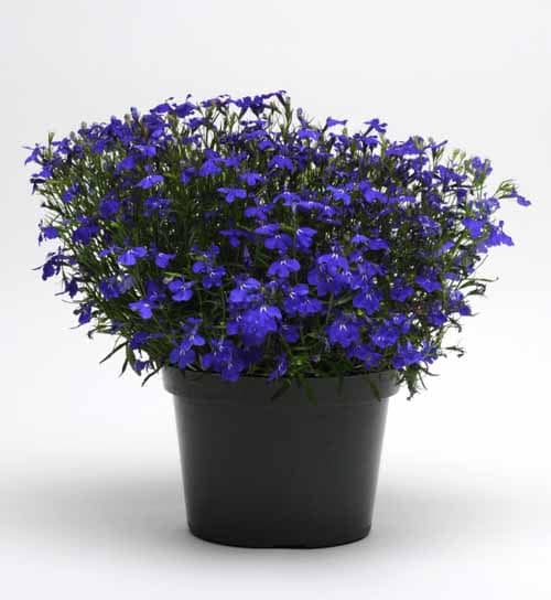 Potted Blues Brothers lobelia (Photo courtesy of Norseco, QC)