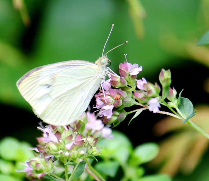Cabbage butterfly on flowers of golden oregano. Photo by Brendan Zwelling