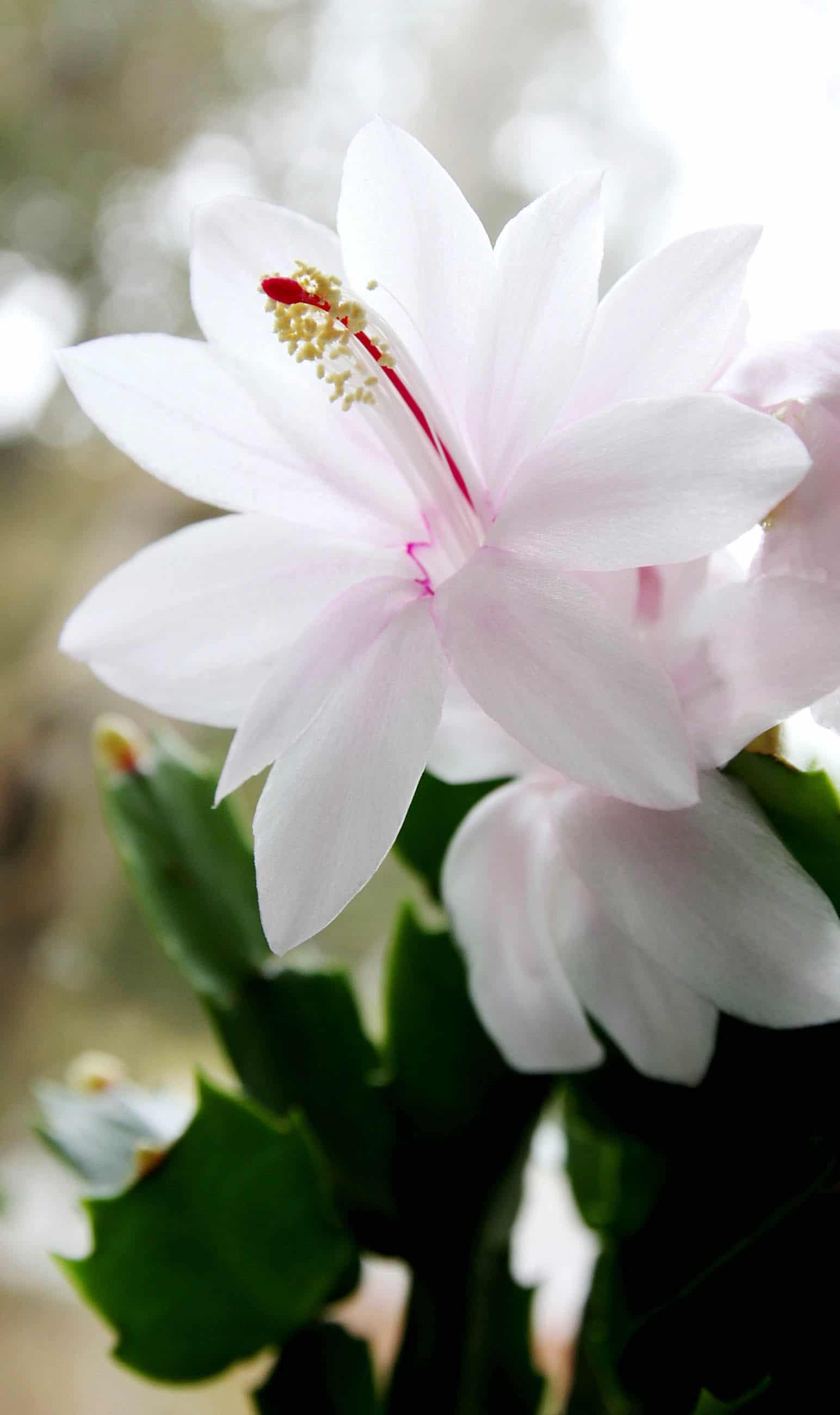 Christmas cactus flower and buds. Photo by Brendan Adam-Zwelling