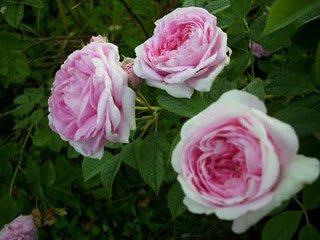 Rene d'Anjou roses. Photo by Heather Hayden