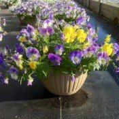 Plentifall pansies. Photo courtesy of stokeseed.com