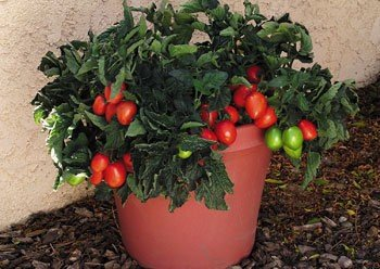 Comb Mexican Midget Tomato Seeds - S//H great for growing in containers