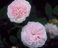 'Felicite Parmentier' roses. (Photo courtesy of Pickering Nurseries)