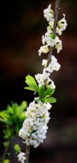 White daphne's blooms perfume the air. (Photo by Brendan Zwelling)