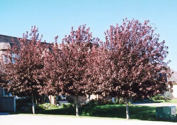 'Schubert' cherry trees. Photo courtesy of northscaping.com