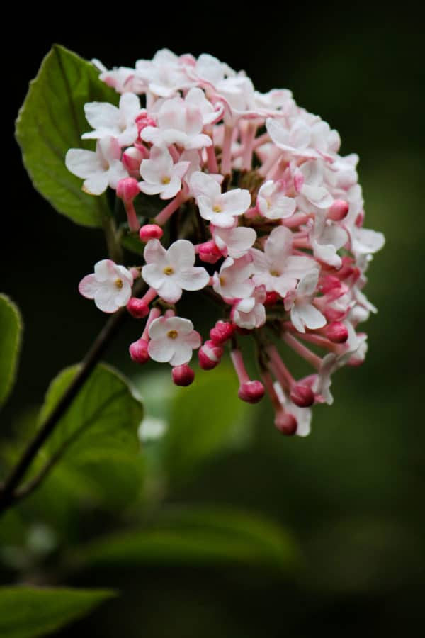 Judd viburnum blossoms are highly fragrant. (Photo by Brendan Zwelling)