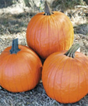 'Gladiator' pumpkins. (Photo courtesy of stokeseeds.com)