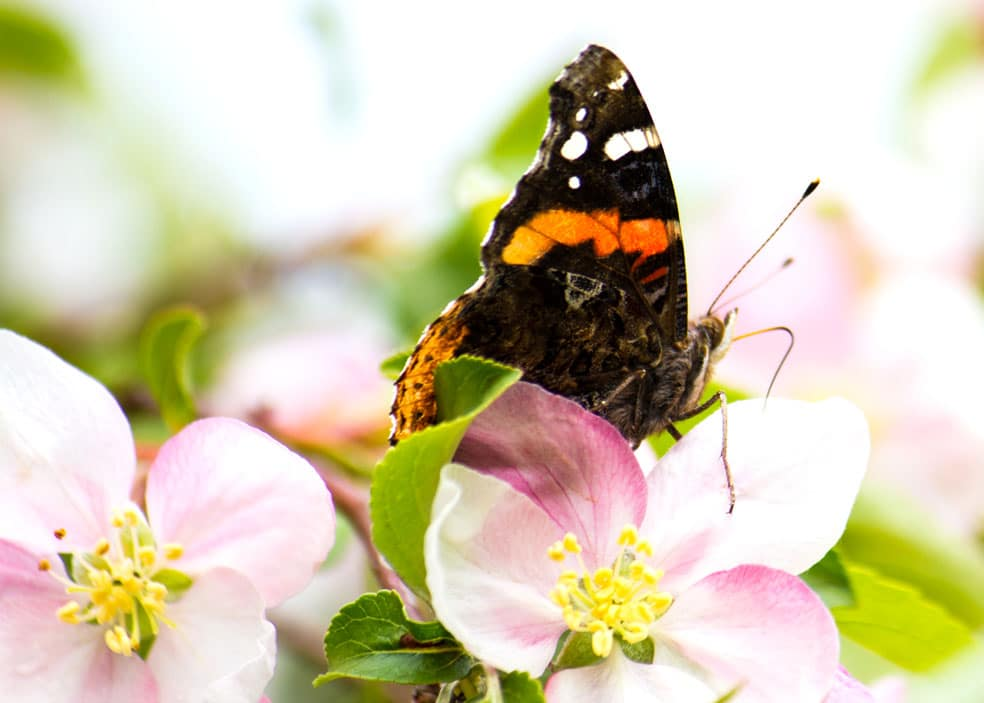 The red admirals arrived early this spring. (Photo by Brendan Zwelling)