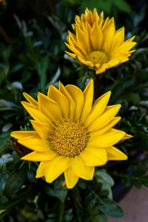Gazoo Clear Yellow gazania likes hot, sunny days. (Photo by Brendan Zwelling)