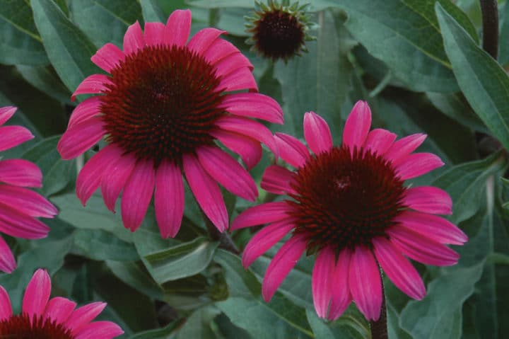 'After Midnight' coneflowers. Photo courtesy of Proven Winners.