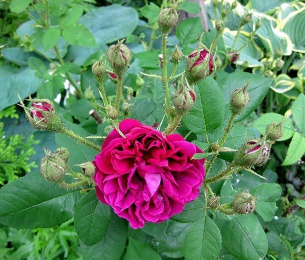 'Etna' moss rose bloom and buds. (Photo by Brendan Zwelling)