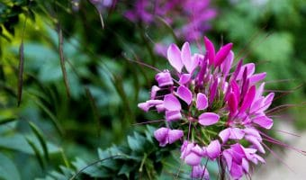 Cleome with seeds (Photo by Brendan Zwelling)