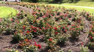 Roses in the trial gardens at Landscape Ontario. (Photo by Heather Hayden)