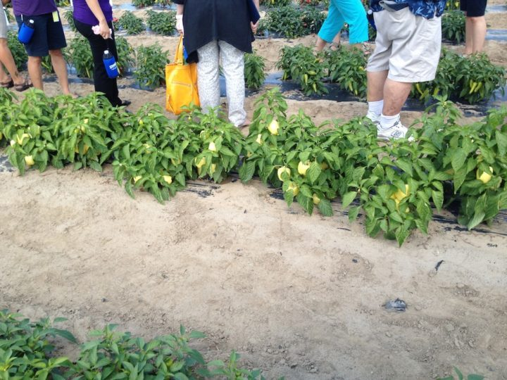Rows and rows of peppers, ready for picking.