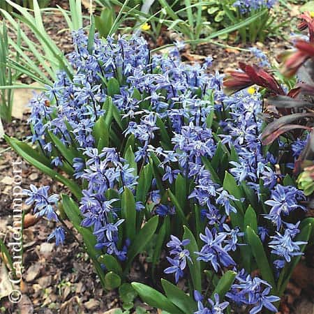 Siberica (Photo from GardenImport)