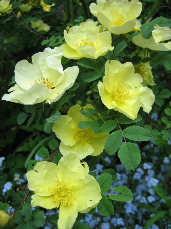 'Canary Bird' rose blooms in early May. (Photo by Brendan Zwelling)