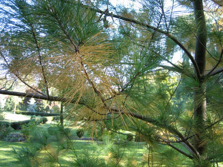 An example of conifer needle drop on white pine.(Garden Making photo)