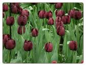 'Queen of the Night' tulips are a striking brownish-maroon. Photo from Flower Bulbs R Us.