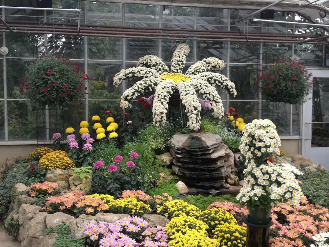 Gardeners at Centennial Park Conservatory train the mums to grow on wires and stakes to create interesting shapes like this massive daisy.
