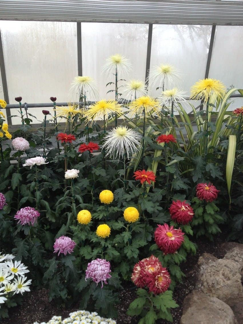 It was eye-opening for a new gardener like myself to see the many varieties of mums on display at the show.