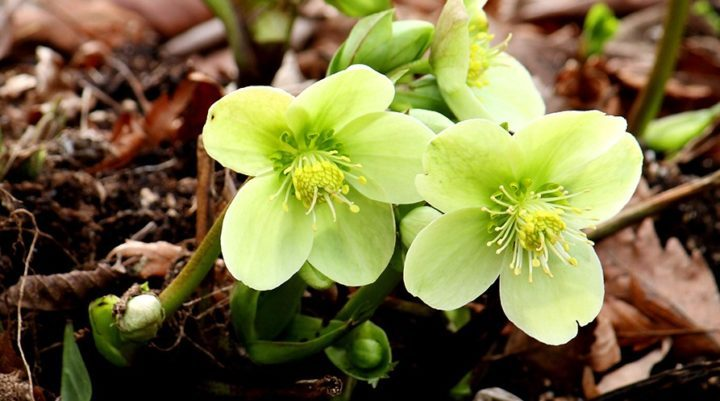 The easiest way to add more hellebores to your garden is to let mature plants self-seed. (Photo by Brendan Adam-Zwelling)