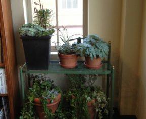 Overwintering succulents
