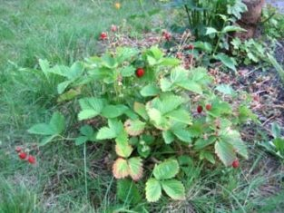 Alpine strawberry. Photo from Richters.com