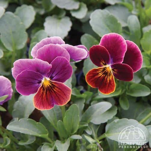 Violas (Photo from perennials.com)