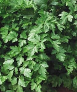 'Gigante Italian' parsley (Photo from Stokes Seeds)