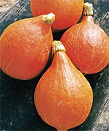 'Mini Orange' Hubbard squash (Photo from Stokes Seeds)