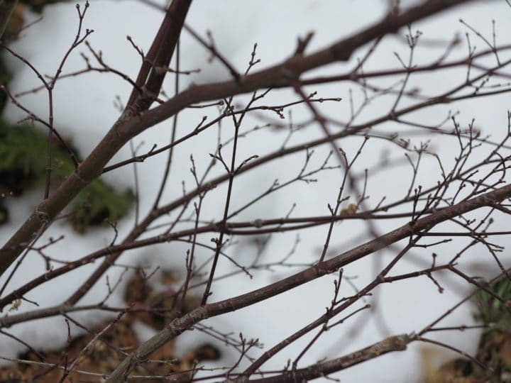 Buds on a Japanese maple (Garden Making photo)