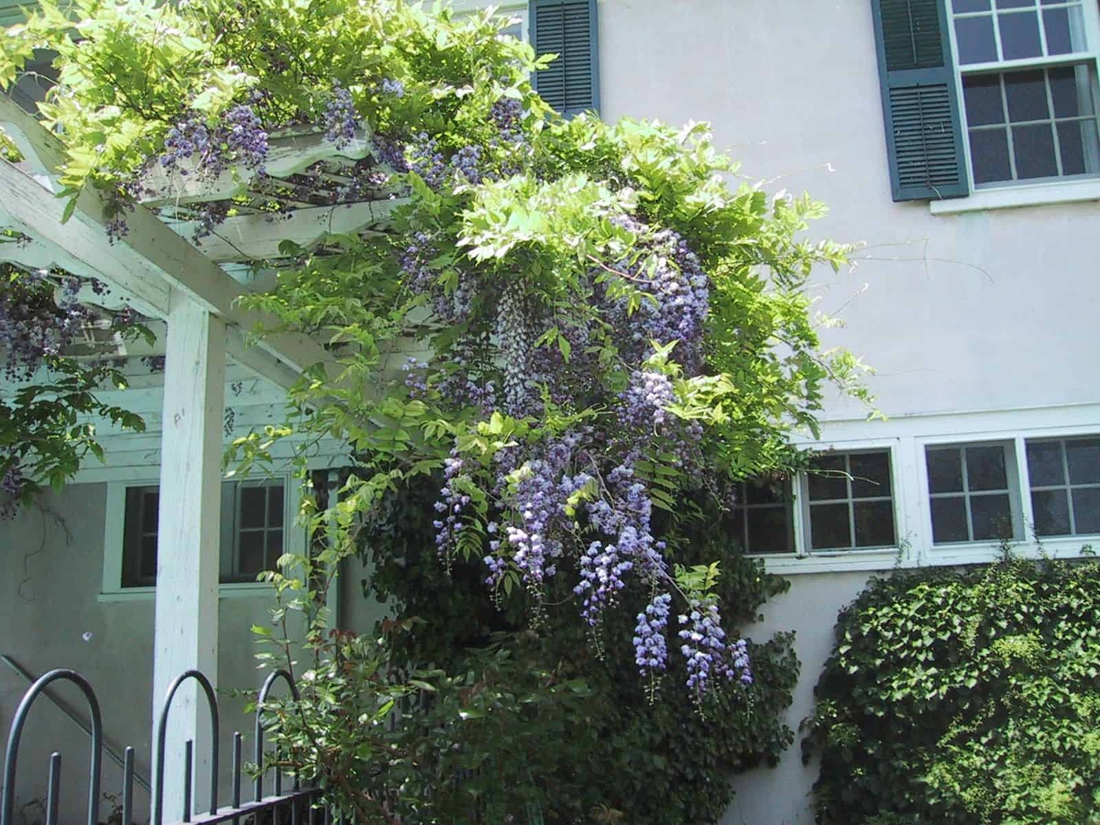 Wisteria in full sun needs to be pruned twice a year. (Garden Making photo)